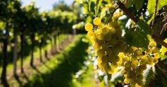 Raisin blanc au coeur des vignes