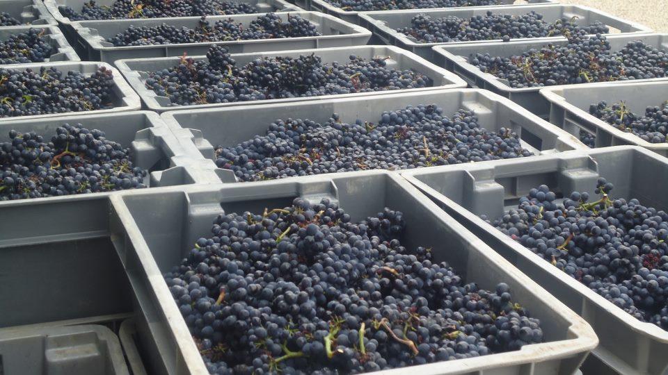 bourgogne-grappes-pinot.jpg